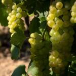 Antmann pince - szőlőfürtök